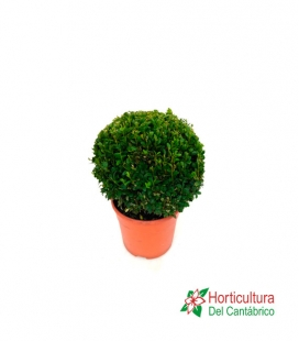 BUXUS BOLA M22