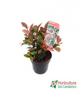 PHOTINIA LITTLE RED ROBIN 3L