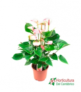 ANTHURIUM PRINCES AMALIA M17