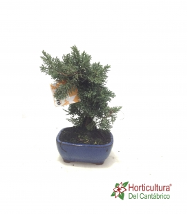 BONSAI 8 AÑOS JUNIPERUS CHINENSIS