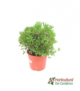 PITTOSPORUM TOBIRA NANA 5L