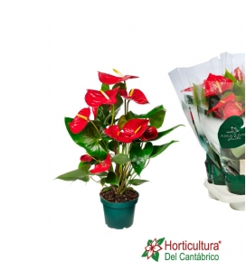 ANTHURIUM NEVADA M14