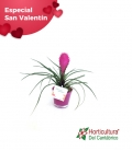 COMP TILLANDSIA