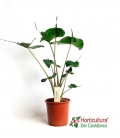 ALOCASIA RED SECRET M12