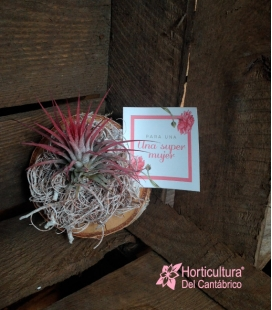 TILLANDSIA FLAMINGO