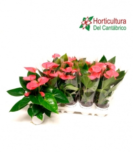 ANTHURIUM PINK CHAMPION M9