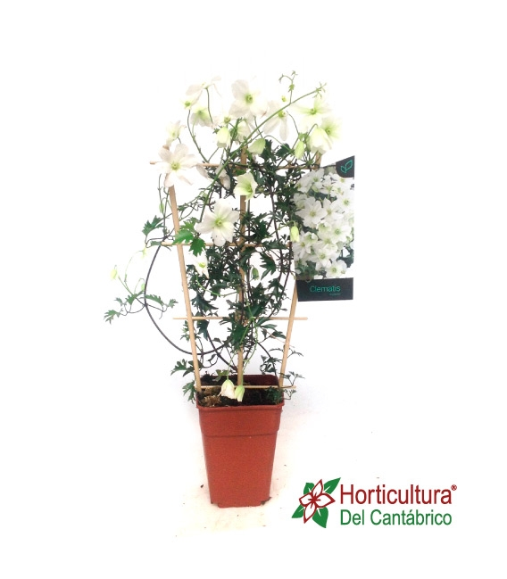 CLEMATIS AVALANCHE 35L
