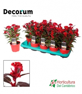 CELOSIA HOT TROPIC M12