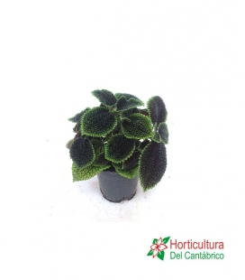 PILEA MOON VALLEY M14