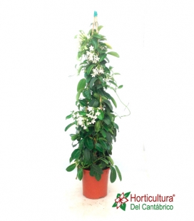STEPHANOTIS C22 PIRAMIDE