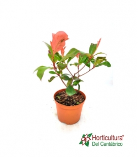 PHOTINIA LITTLE RED ROBIN 2,5L