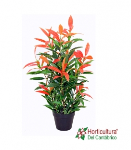 PHOTINIA RED ROBIN 10L