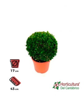 BUXUS BOLA M17
