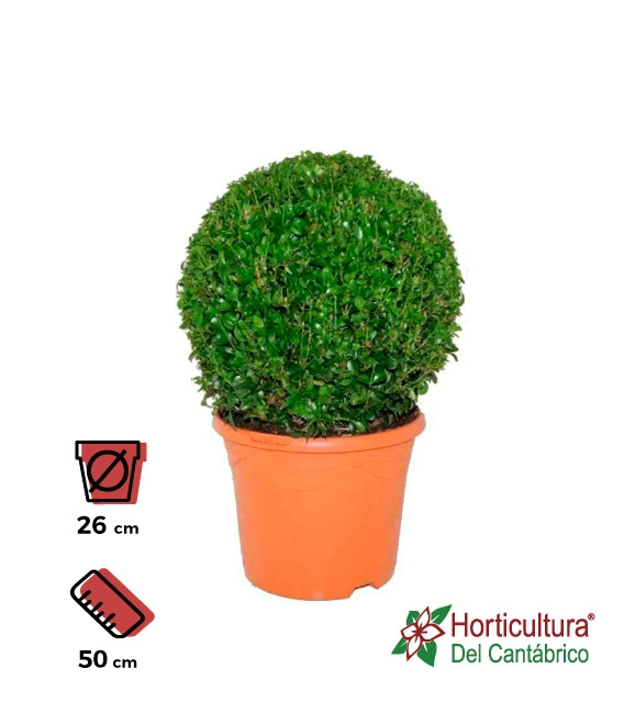 BUXUS BOLA M26