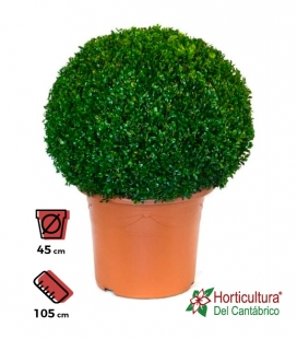 BUXUS BOLA M45