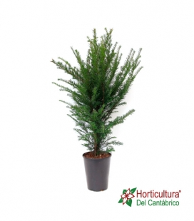 TAXUS BACCATA M19