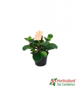 PEPEROMIA RED CANYON M12