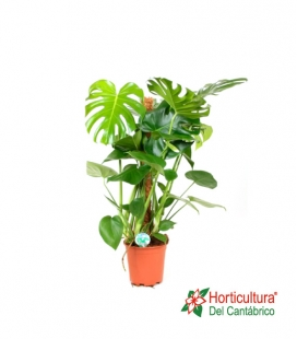 MONSTERA TUTOR M20