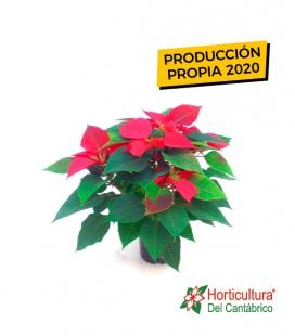 Planta de pascua roja nacional