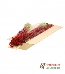PHALARIS RED
