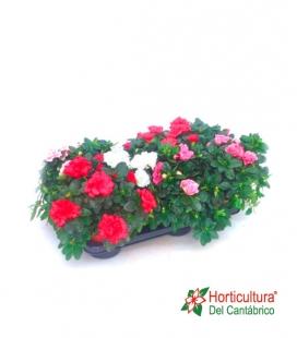 planta de azalea de colores