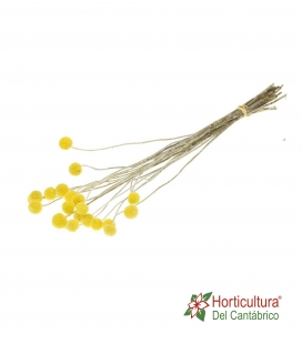 CRASPEDIA 20 PC NATURAL YELLOW