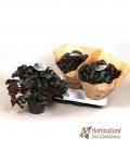 Begonia black jungle