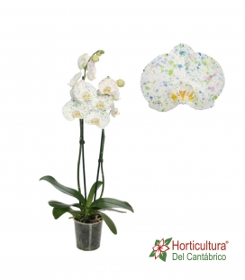 Orquidea blanca con puntos azules