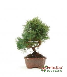 BONSAI CHAMAECYPARIS 8 AÑOS