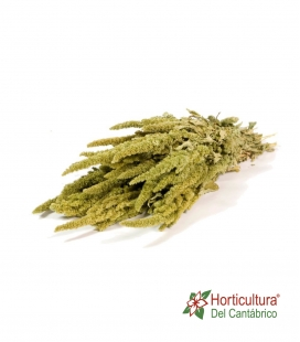 AMARANTHUS NATURAL GREEN