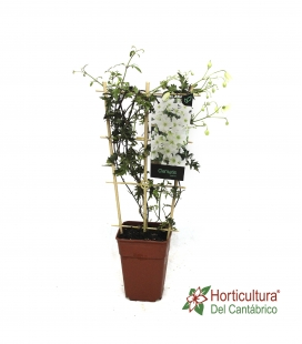 CLEMATIS AVALANCHE 3,5L