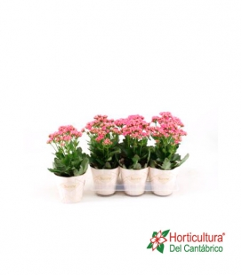 KALANCHOE M14 BRUSHED PINK