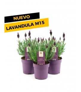 LAVANDULA STOECHAS ANOUK M15