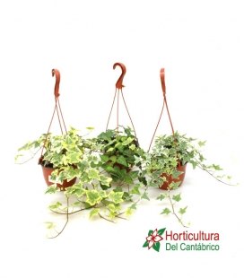 HEDERA T15 PP
