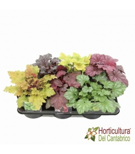 HEUCHERA MIX M17