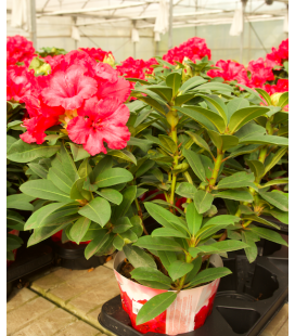 RHODODENDRO M19