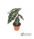 ALOCASIA POLLY M17