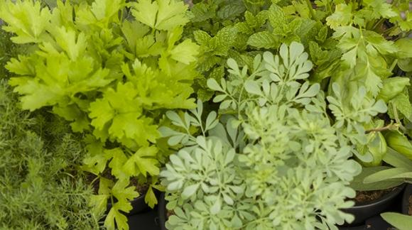 Plantas aromáticas primavera 2020