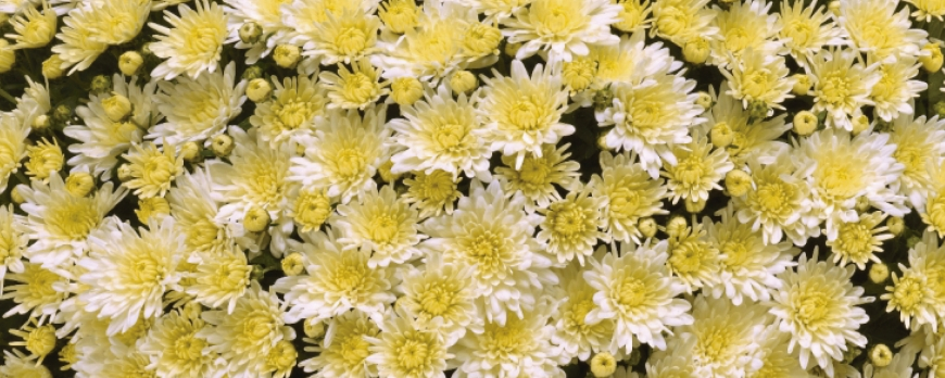 Crisantemos 2019