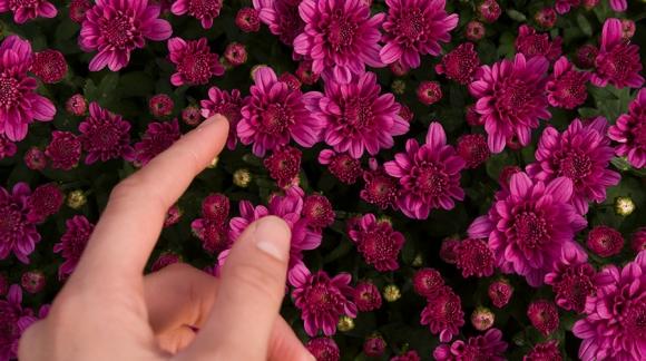 ¿Cómo cuidar tus crisantemos?